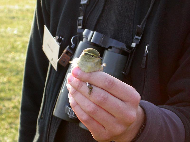 Taigasångare (Phylloscopus inornatus) Yellow-browed Warbler