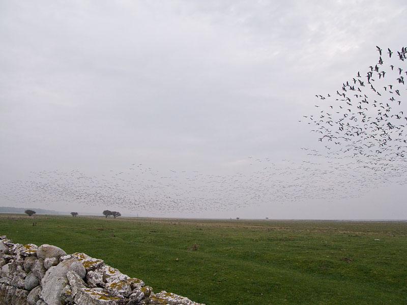 Vitkindad gås (Branta leucopsis) Barnacle Goose