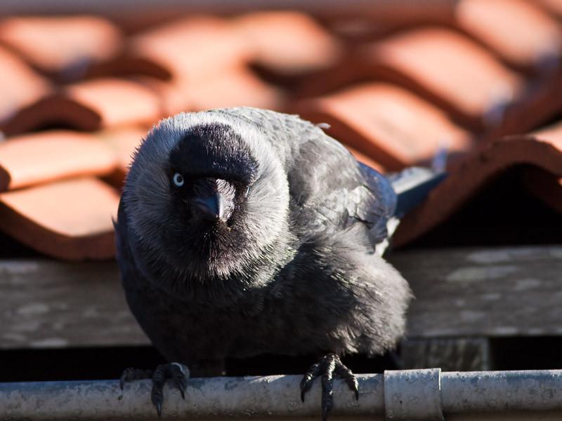 Kaja, Corvus monedula, Western Jackdaw