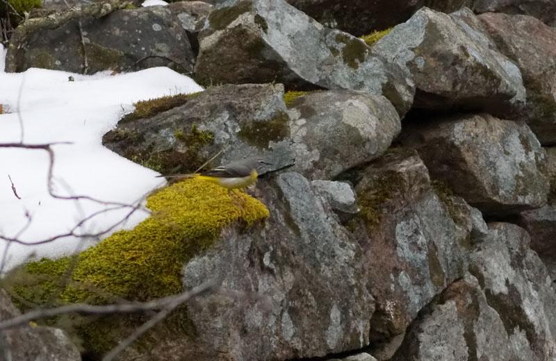 Forsärla (Motacilla cinerea) Grey Wagtail