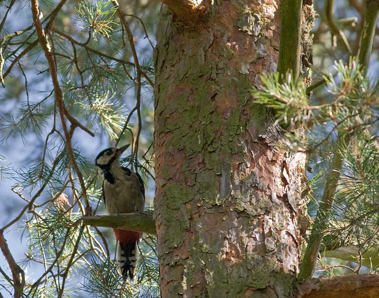 Större hackspett (Dendrocopos major) Great Spotted Woodpecker