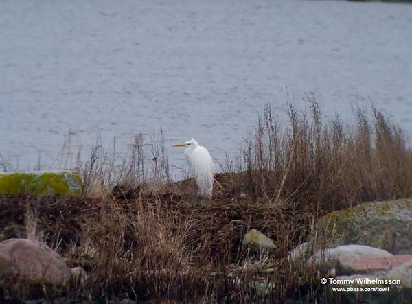 Ägretthäger (Egretta alba) Great White Egret