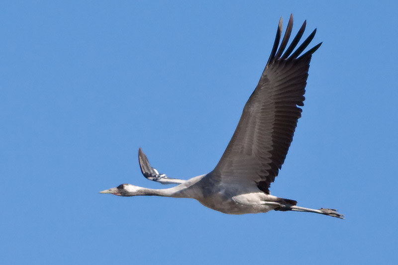 Trana, Grus grus, Common Crane