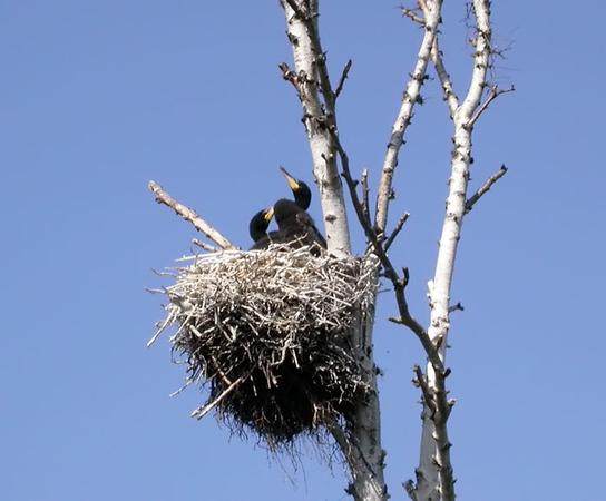 Storskarv (Phalacrocorax carbo) Cormorant