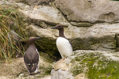Common Murre seabird pair facing each other on rock ledge