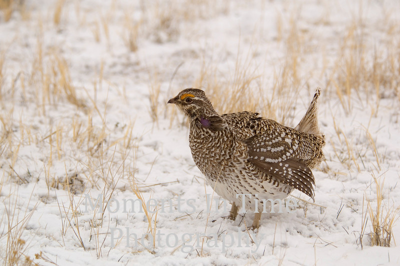 Grouse sharp-tailed