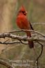 Red cardinal v