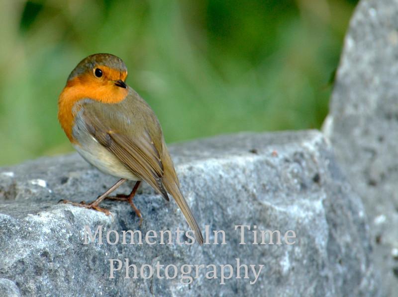Robin at castle