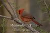 Cardinal desert  (Cardinalis sinuatus)