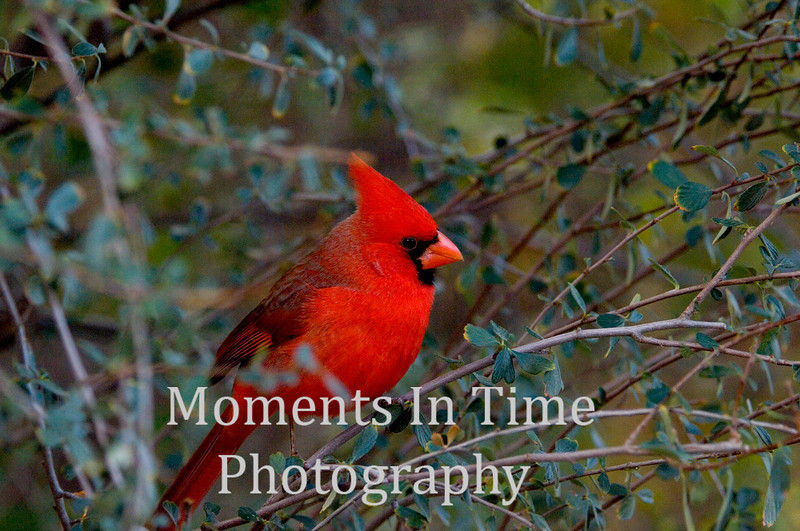 Red cardinal in bush