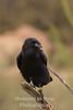 Raven Chihuahuan
