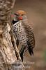 Flicher, Northern (Colaptes auratus)