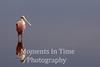 Spoodbill roseate