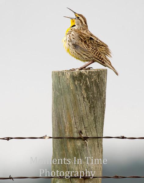 meadowlark singing on fence post