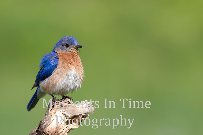 male bluebird on branch end fluffed up