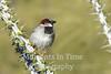 Sparrow, Desert  (Passer simplex)