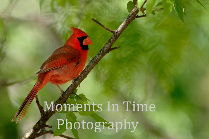 Cardinal on diagonal