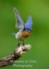 bluebird (Sialia sialis)