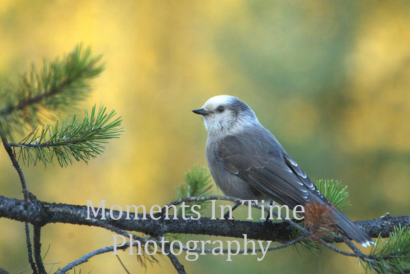 gray jay on pine branch