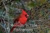 Cardinal northern (Cardinalis cardinalis)