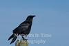 Crow American