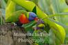 Lorakeet rainbow (Trichoglossus haematodus)