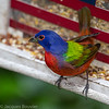 Passerin nonpareil - Painted Bunting.