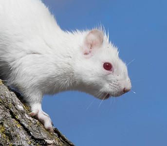 Red Squirrel (albino) - Écureuil roux (albinos)