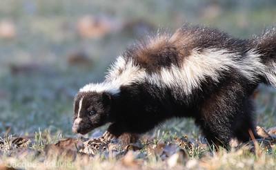 Striped Skunk - Moufette rayée