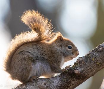 Red Squirrel - Écureuil roux