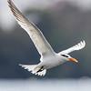 Sterne royal - Royale Tern
