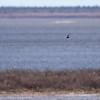 Black Tern - Guifette noire