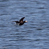 Long-tailed Duck - Harelde kakawi