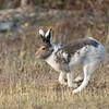 Arctic Hare - Lièvre arctique