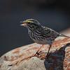 Savannah Sparrow - Bruant des prés