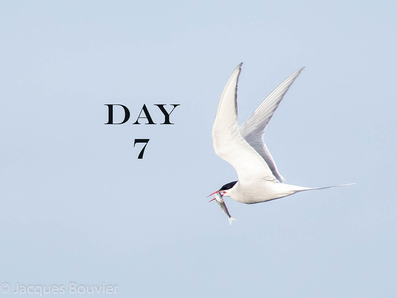 14 June 2018<br /> An Arctic Tern<br /> Cape Merry<br /> <br /> Temperatures ranged from 2 C (-3 C with wind chill) to 9 C.  Mainly sunny.  We checked Churchill feeder in am and pm for White-winged Dove but again no luck.  We checked willow bushes it was said to fly into after feeding but no luck.  It had not been reported recently so we thought it must have moved on.<br /> <br /> This is my last photo of an Arctic Tern, here with a Capelin. They were all over the place every day. I had never seen so many in my life!<br /> <br /> Only 51 species seen today.