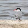 Arctic Tern - Sterne arctique