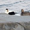 Common Eider - Eider à duvet