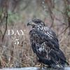 Bald Eagle - Pygargue à tête blanche