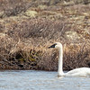 Tundra Swan - Cygne siffleur
