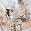 Harris's Sparrow - Bruant de Harris