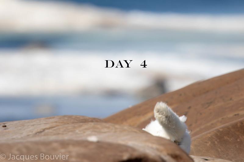 Arctic Fox - Renard arctique