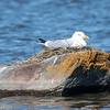Herring Gull - Goéland argenté