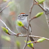 Chipping Sparrow - Bruant familier