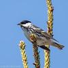 Blackpoll Warbler - Paruline rayée