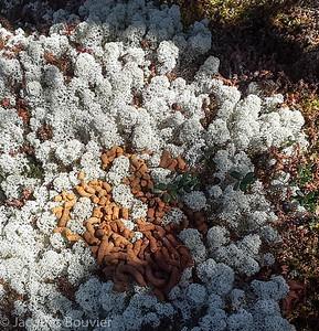 Spruce Grouse - Tétras du Canada