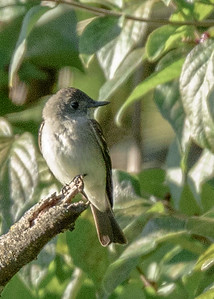 Eastern Phoebe at Boot Lake Nature Preserve, Elkhart, IN
