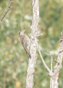 Northern Flicker (probably a juvenile) at Boot Lake Nature Preserve, Elkhart, IN