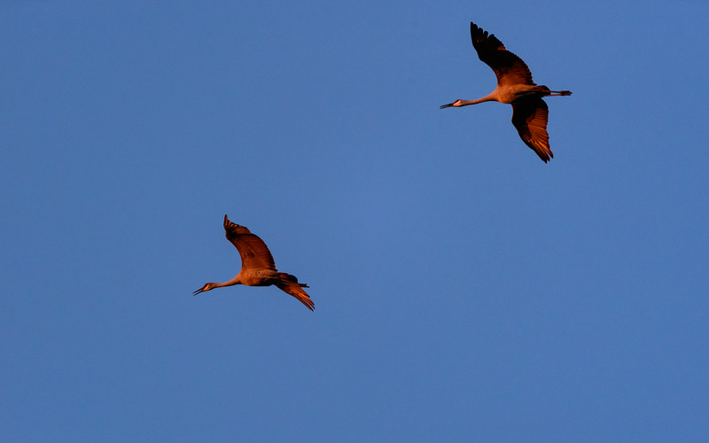 Sandhill Cranes coming for roosting at Jasper-Pulaski Fish and Wildlife Area, Medaryville, IN