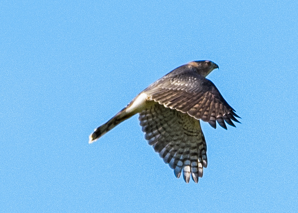 Merlin in flight at Boot Lake Nature Preserve, Elkhart, IN